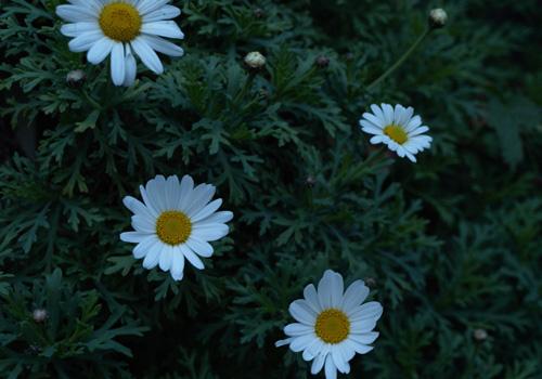 夜明け前の花
