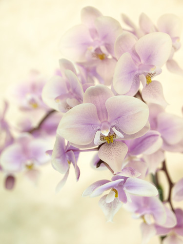 柔らかい印象の蘭
