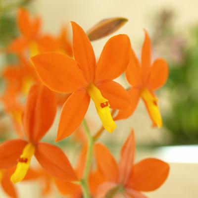 オレンジ色の爽やかストレートな蘭