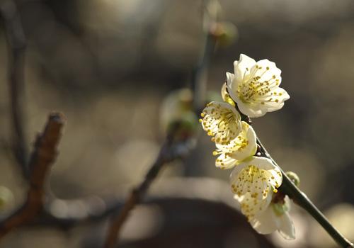 緑萼梅(りょくがくばい)