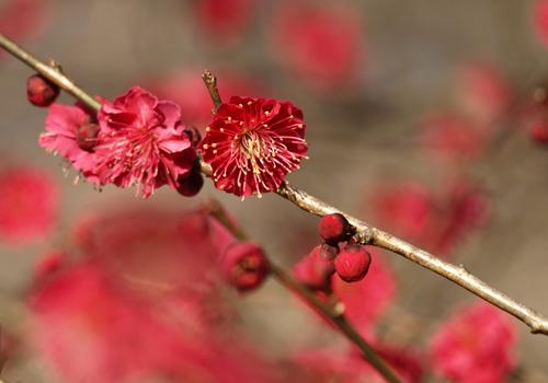 真紅の梅花