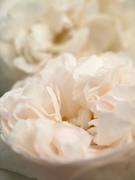 くしゅくしゅっとしたバラ