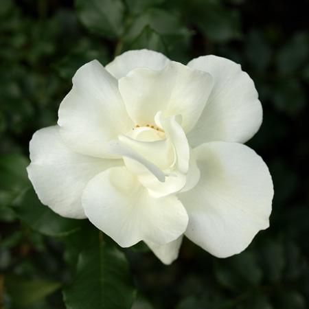 クチナシのような、清楚な印象のバラ
