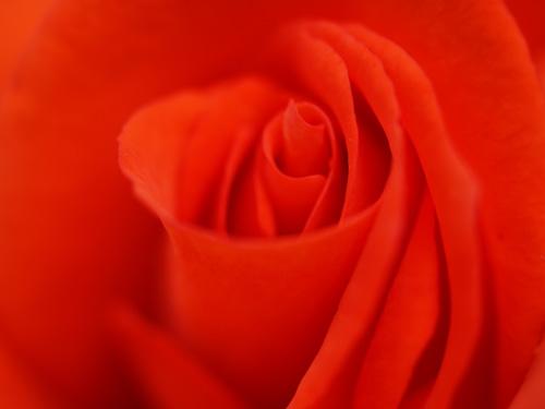 これぞバラ、というような真っ赤なバラ