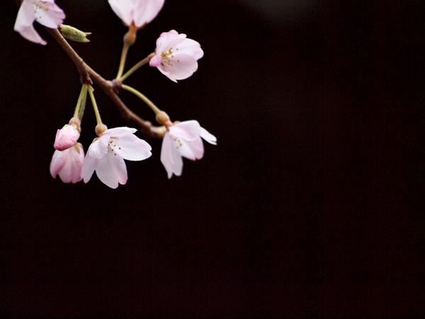 今月のカレンダーに使った桜