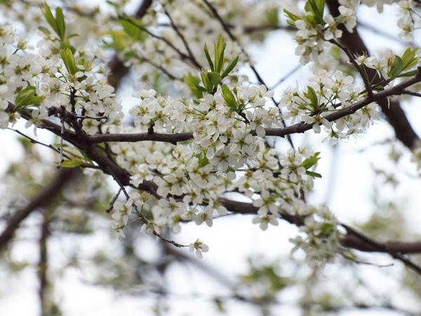 薄緑がかった桜も。