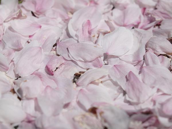 Sakura Flakes 2009