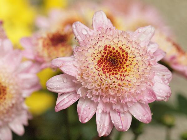 庭に植えた菊