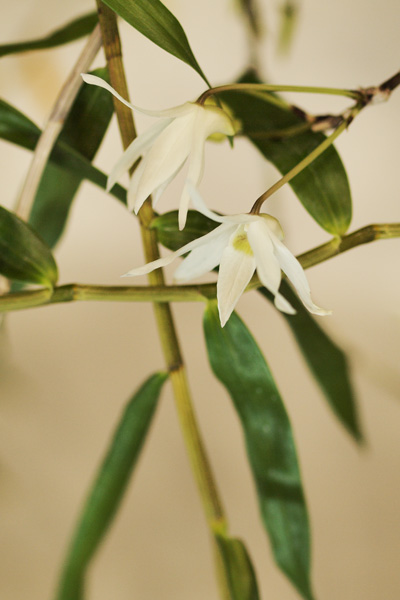竹のような清楚な蘭