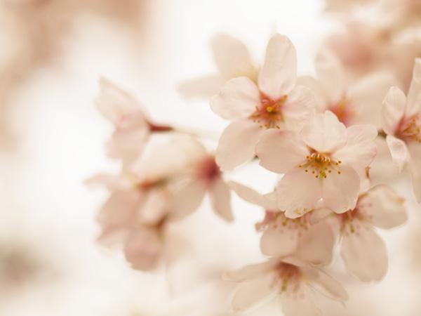 桜色を強調