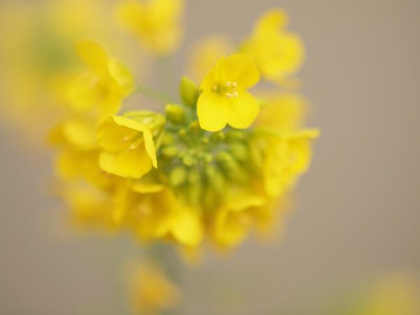 ほんわか菜の花