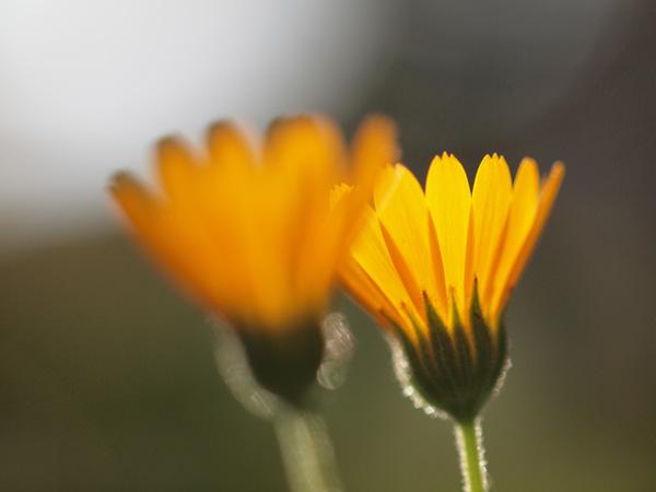 閉じかけだけど透ける花びらが綺麗