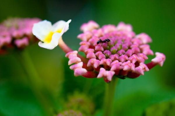 ランタナの花原を蟻が散歩