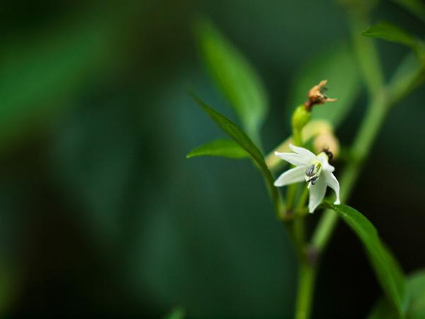 姫唐辛子の花