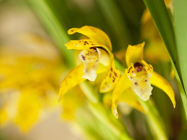 濃い黄色の蘭