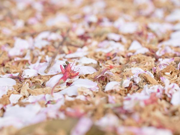 Sakura Flakes 2011