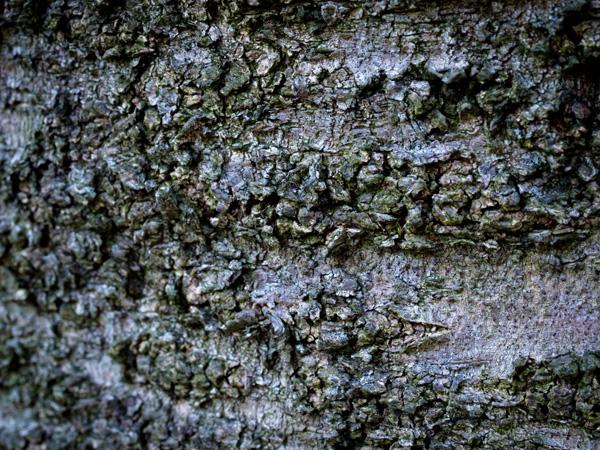 染井吉野の樹皮