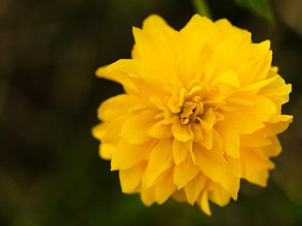 花の肖像:山吹