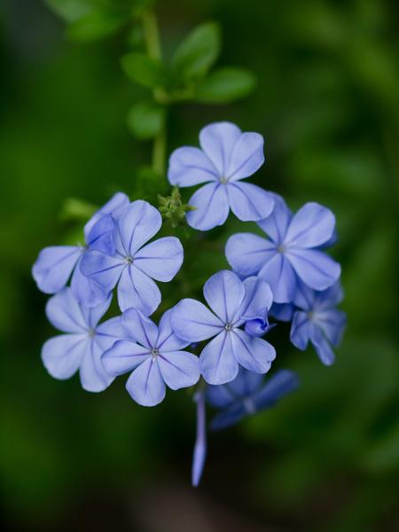 花の肖像:瑠璃茉莉