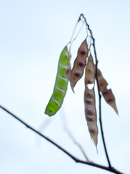 合歓の木の種