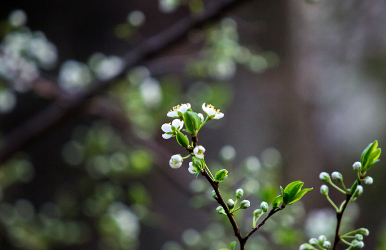 白い桜も咲き始め