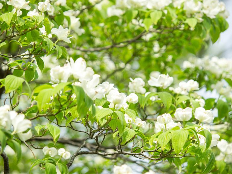 白の花水木