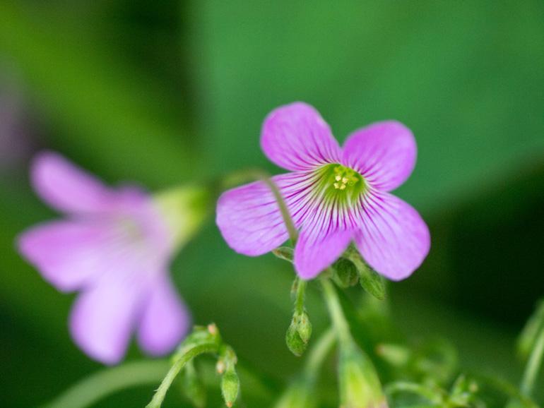 紫酢漿草(ムラサキカタバミ)