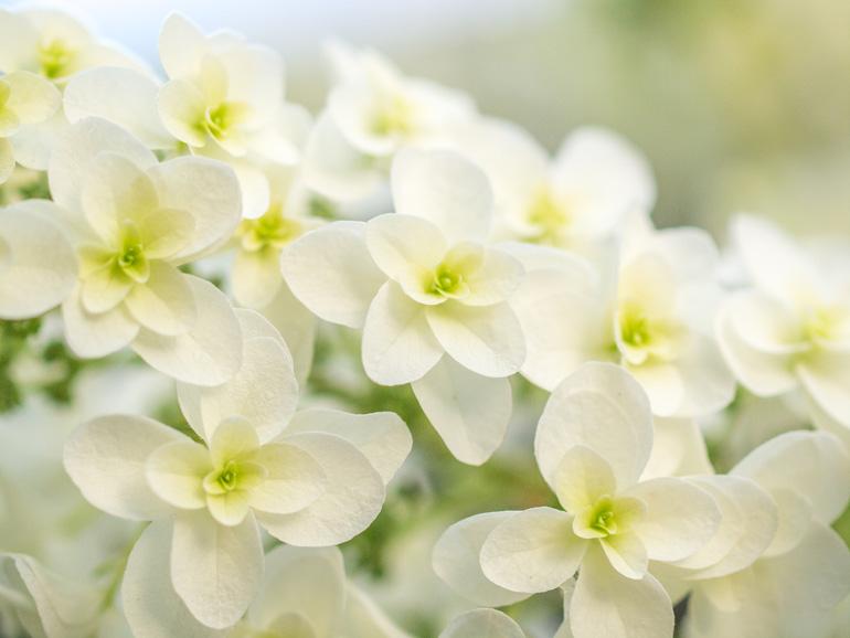 柏葉紫陽花(カシワバアジサイ)
