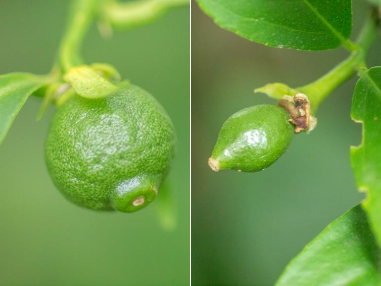柚子と檸檬