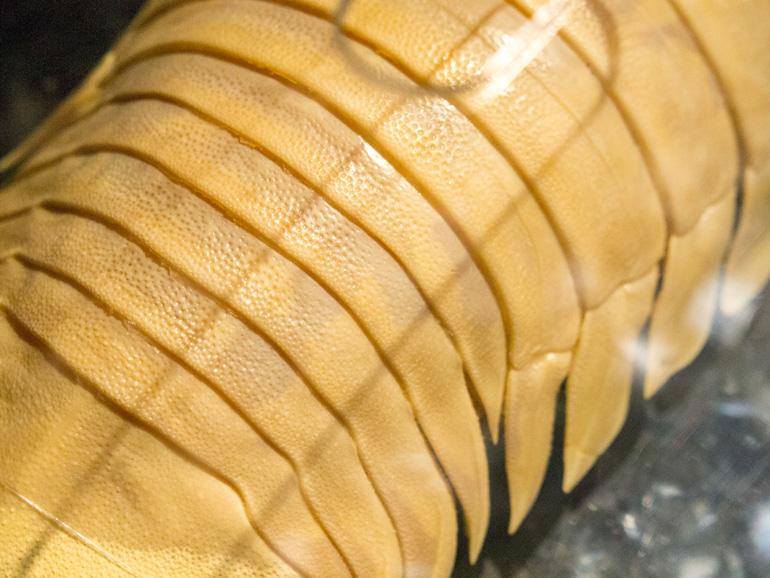 オオグソクムシの標本