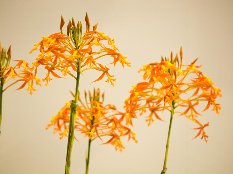 オレンジ色の蘭が好き